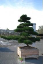 Pinus Thumbergii 4