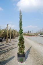 Cupressus sempervirens 'Stricta'