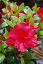 Azalea japonica 'Fête des mères' (Rouge)