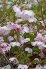 Prunus 'Accolade'