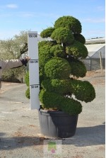 Juniperus chinensis itoigawa 1