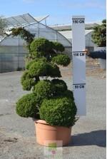Juniperus chinensis itoigawa 2