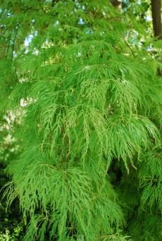 Acer palmatum dissectum 'Viride'
