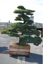 Pinus pentaphylla 9