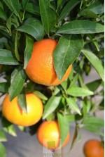 Citrus Clementina