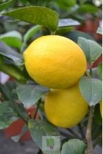 Citrus Meyeri