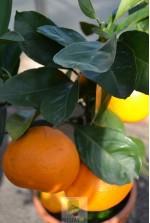 Citrus Unshiu
