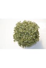 Pittosporum tenuifolium Silver Ball