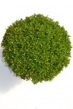 Myrthe communis microphylla