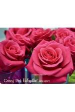 Décorosier 'Crazy Pink Voluptia'®