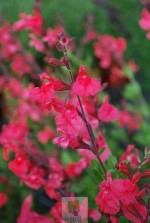 Salvia grahami (Saumon)