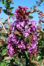 Lagerstroemia indica violet