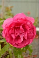 Rosa grimpant x 'Cyclamen Pierre de Ronsard'