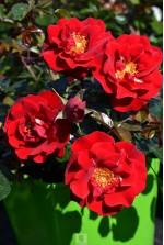 Rosa 'New Vesuvia' ® noa71680