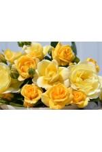 Rosa 'Soleya' ® noa71610