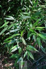 Phyllostachys bissetti
