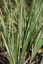 Acorus variegata
