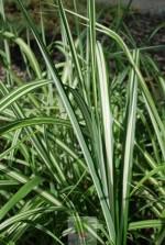 Miscanthus sinensis 'Cabaret'