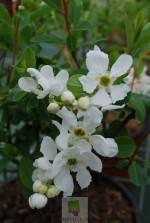 Exochorda macrantha
