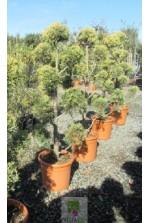 Cupressus arizonica 'Fastigiata'