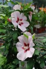 Hibiscus syriacus 'Hamabo'