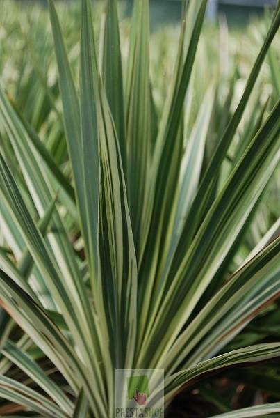 Cordyline australis 39 torbay dazzler 39 plan te p pini re - Cordyline feuilles qui jaunissent ...