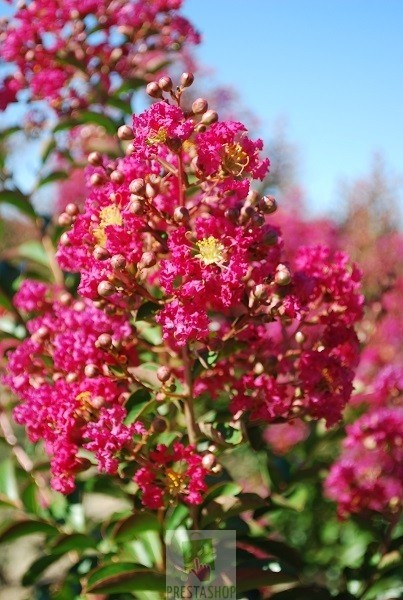 Lagerstroemia Indica Rouge Planete Pepiniere