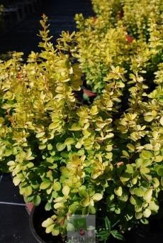 Berberis thunbergii golden torch