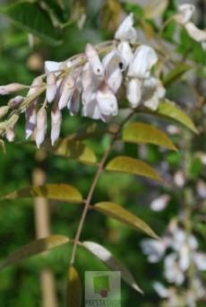 Wisteria sinensis 'Alba' (Blanche)