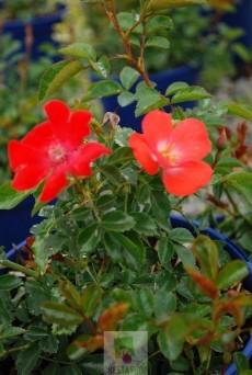 Rosa 'Isalia' ® noat 1804