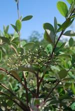 Cotoneaster glaucophyllus