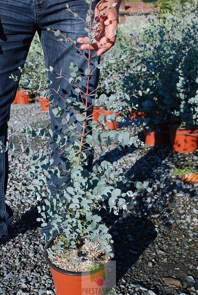 Eucalyptus gunnii plan te p pini re - Eucalyptus gunnii en pot ...