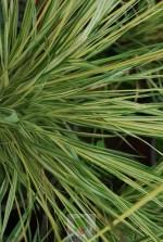 Molinia caerulea 'Variegata'