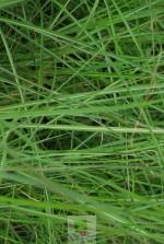 Miscanthus sinensis 'Kleine Fontane'