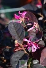 Loropetalum chinense 'Fire dance'
