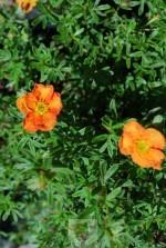Potentilla fruticosa red ace 'Bloace'