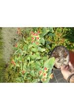 Hypericum inodorum 'Elstead'