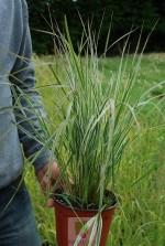 Calamagrostis acutiflora 'Overdam'
