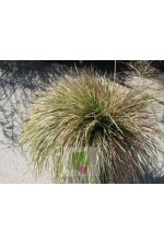 Deschampsia cespitosa 'Northern light'
