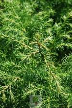 Cryptomeria japonica 'Viridis'