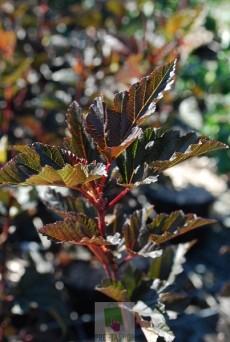 Physocarpus opulifolius 'Diabolo'