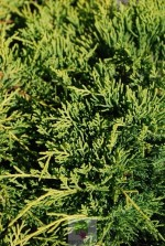Juniperus pfitzeriana 'Old gold'