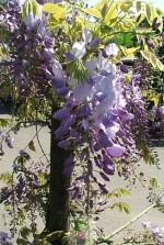 Wisteria sinensis bleu