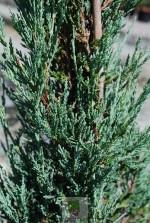 """Juniperus scopulorum 'Blue Arrow"""""""