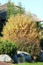 Cornus sanguinea Winter Flame ® 'Anny'