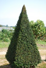 Taxus baccata Pyramide