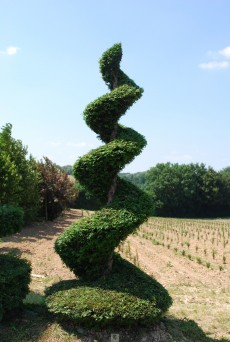 Taxus baccata Spirale