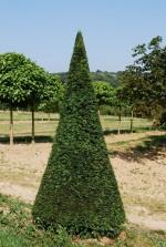 Taxus baccata Cône