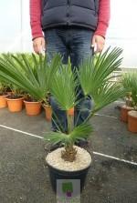 Trachycarpus wagnerianus - Pot 8 litres
