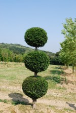 Taxus baccata 3 Boules